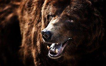 bear, fangs, mouth, brown bear