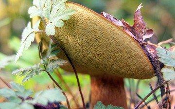 трава, лес, гриб, шляпка