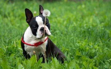 grass, dog, french bulldog, boston terrier