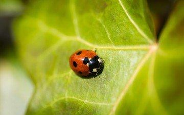 природа, жук, насекомое, божья коровка, зеленый лист
