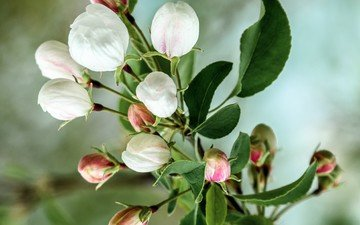 flowers, branch, flowering, buds, spring, apple