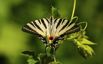 природа, листья, насекомое, бабочка, крылья, животное, растение