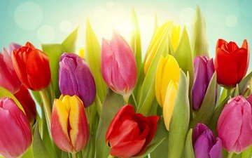 flowers, buds, red, tulips, pink, bright, yellow