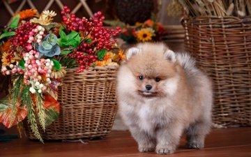 цветы, собака, щенок, корзина, композиция, шпиц
