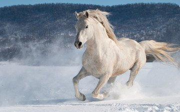 horse, snow, winter, running, stallion, andrew n dierks