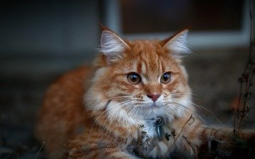 cat, red, maine coon