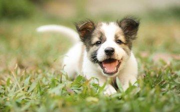 grass, muzzle, dog, puppy