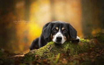 взгляд, осень, собака, швейцарский зенненхунд, ценок