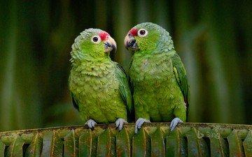 birds, beak, parrot, parrots, bing, ecuador, red-lored, krasnolesy amazon