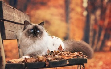 leaves, park, cat, autumn, bench, fluffy, burmese, burma