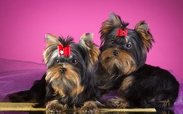 puppies, dogs, bow, york, yorkshire terrier