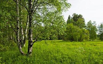 трава, деревья, лес, березы, поляна, луг, березки