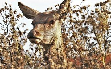 морда, природа, олень