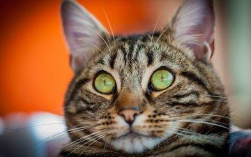 глаза, морда, фон, кот, усы, кошка, взгляд