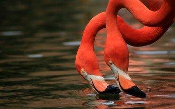 вода, фламинго, птицы, клюв, шея, дуэт