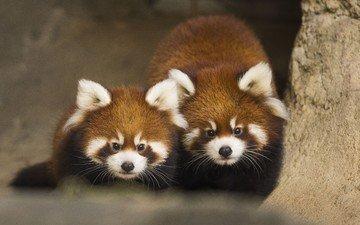 животные, панда, красная панда