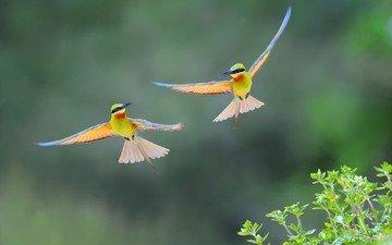 полет, крылья, птицы, пчелоед, золотистая щурка