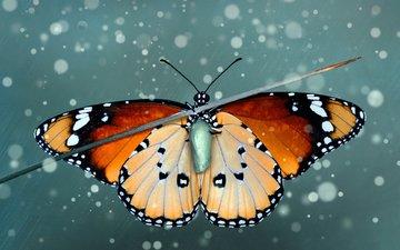 насекомое, бабочка, крылья, куколка, травинка, монарх