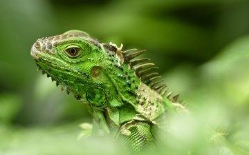 ящерица, рептилия, игуана, боке