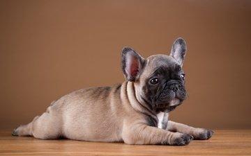 собака, щенок, бульдог, французский бульдог
