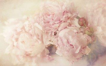 цветы, арт, бутоны, фон, лепестки, пионы
