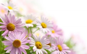 цветы, лепестки, ромашки, букет, розовые, белые