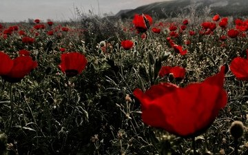 цветы, поле, красные, маки