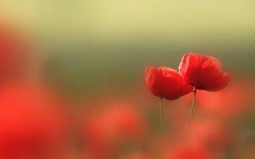 цветы, природа, красные, маки, размытость