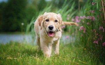 flowers, grass, nature, dog, puppy, language, retriever, golden retriever