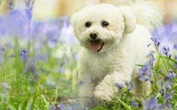 flowers, grass, nature, muzzle, dog, puppy, language, lapdog, bichon frise