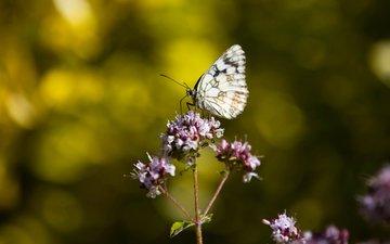 цветы, насекомое, бабочка, lena held