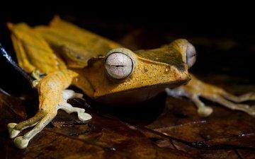 eyes, macro, leaf, sheet, frog, black background, yellow, legs, pupils, amphibians