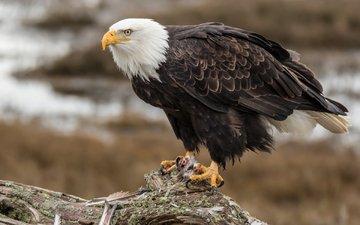 орел, птица, клюв, перья, орлан, белоголовый орлан
