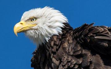 орел, птица, орлан, белоголовый орлан, chuck babbitt