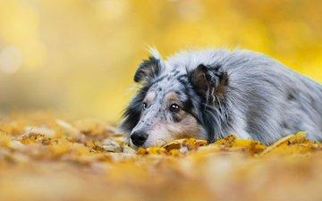 фон, листва, осень, собака, овчарка, колли, шотландская овчарка