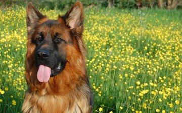 eyes, face, flowers, look, dog, language, german shepherd, shepherd