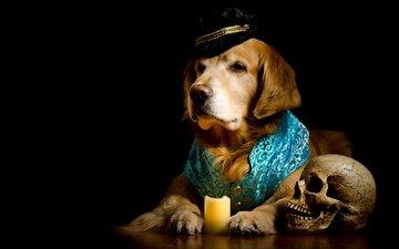 portrait, dog, black background, costume, skull, candle, hat, golden, photoshoot, vest, retriever, composition, elegant, poor yorick