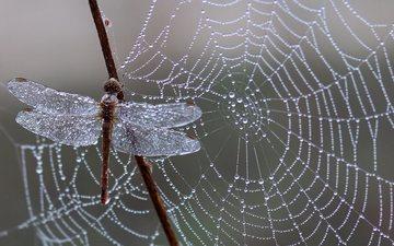 природа, утро, роса, капли, паутина
