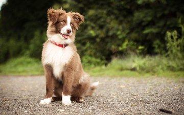 dog, puppy, retriever, nova scotia duck tolling retriever