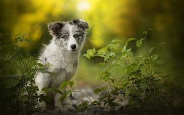 puppy, alice, dog, bokeh, australian shepherd, aussie, dackelpuppy