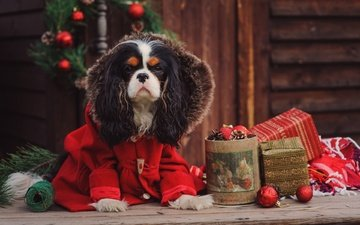 new year, dog, costume, spaniel, cavalier-king-charles-spaniel