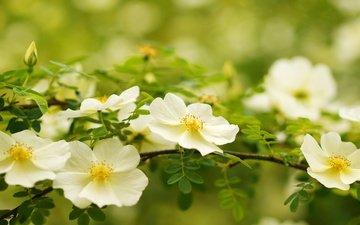 ветка, макро, белый, шиповник, цветки