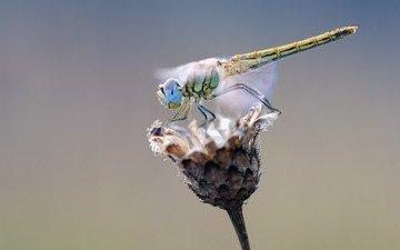 макро, насекомое, цветок, крылья, стрекоза, растение, сухой