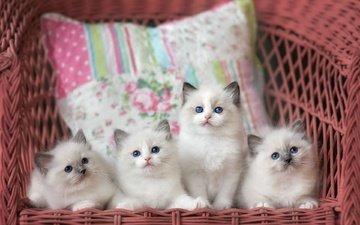 коты, кресло, кошки, пика, котята, компания, подушка, голубоглазые, милашки, котята.кошки, мими, ооо