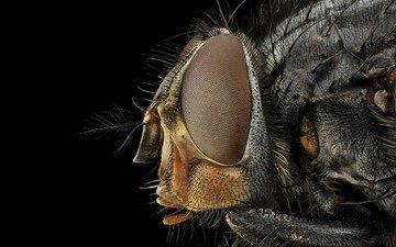 глаза, макро, насекомое, черный фон, муха, крупным планом