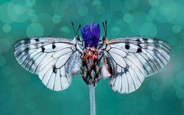 цветок, крылья, насекомые, бабочки, стебель, василек