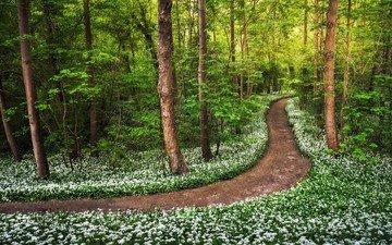цветы, природа, лес, тропинка, весна