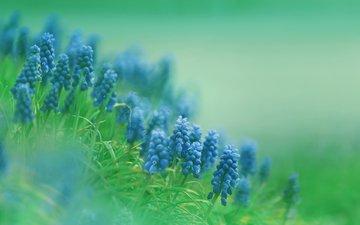 flowers, muscari