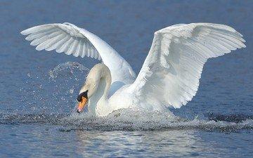 вода, крылья, брызги, птица, взмах, лебедь