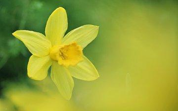 цветок, весна, нарцисс, нарцис
